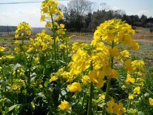 冬野菜に別れを告げて、春夏野菜の種を播く3月 02