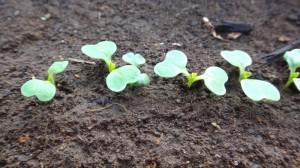 冬野菜に別れを告げて、春夏野菜の種を播く3月 01