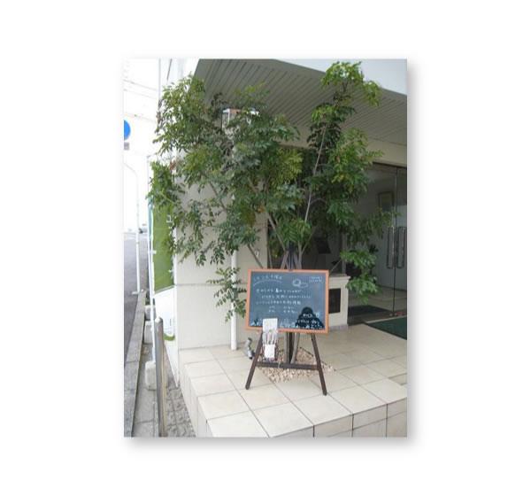 植栽 シマトネリコ