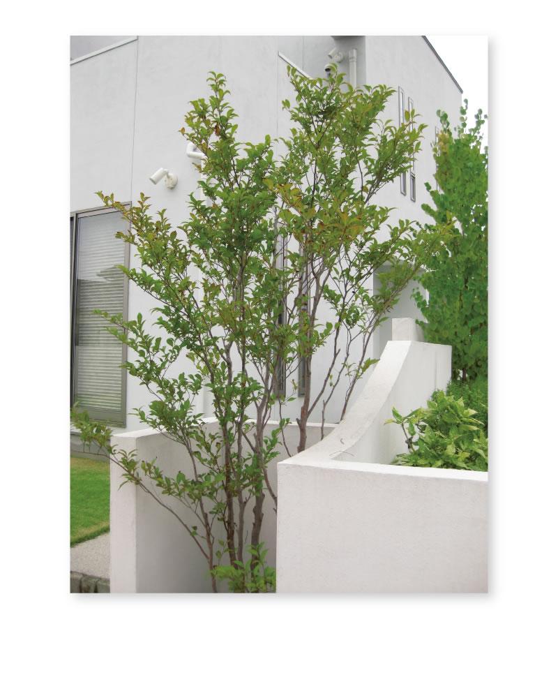 植栽 ヒメシャラ