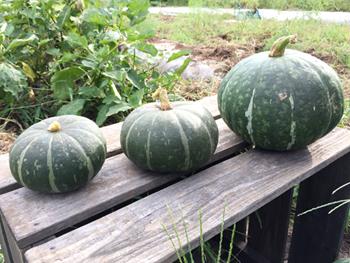 畑ごはんかぼちゃ